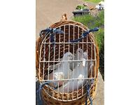 Pure white doves