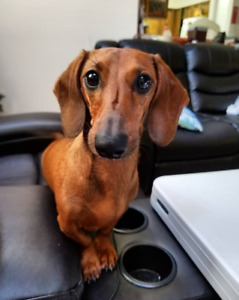 Looking for a good owner for my 4 y.o dashchund