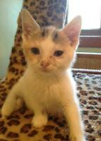 "Baby Female Cat - Dilute Calico: ""Pixie"""