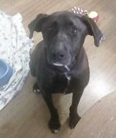 "Adult Male Dog - Chocolate Labrador Retriever: ""Pogo"""