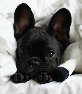 ❤️French bulldogs