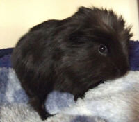 ** LAST OF ** Long Haired baby Guinea Pig