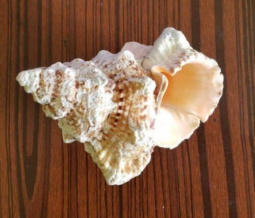 """6"""" Giant Frog SeaShell (Bursa bubo) Collectable shell"""