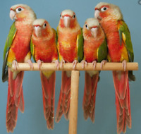 Pineapple Conure Baby Parrots