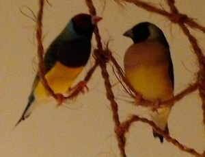 Lady Gouldian Finches North Shore Greater Vancouver Area image 5