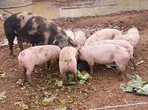 Berkenshire Pigs Renmark Renmark Paringa Preview