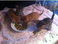 Half Bengal kitten
