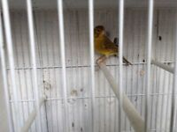 Canary for sale.