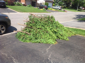 Free cedar clippings and branches