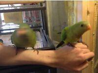 Baraband parrots.