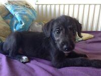 Last Lurcher Puppy for sale