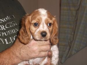 Beaglier Puppies On Hold