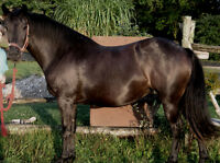 Stylish Black Friesian Cross Mare