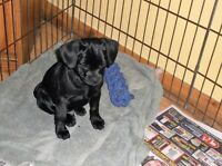3/4 Pug Puppies SOLD