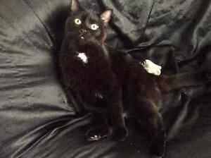 REWARD Missing Black Cat White Patches PORT COQUITLAM