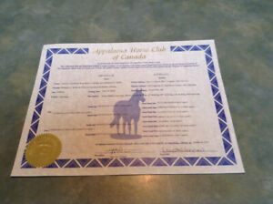 Registered yearling Appaloosa stud colt for sale