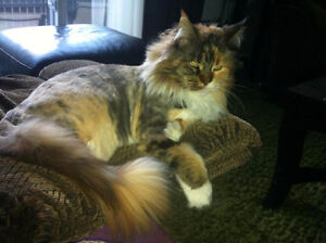 Pampered Paws Home Spa! Full Service Cat Grooming!