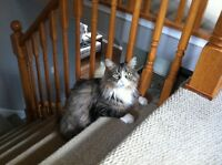 Missing long haired Maine coon cat