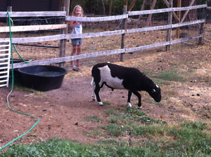 Two Rams For Sale