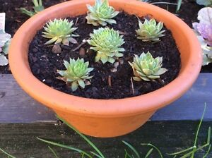 Hen and chicks plants in terracotta pot