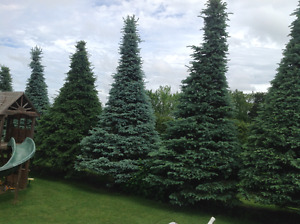 7 16-20 foot Blue spruce trees