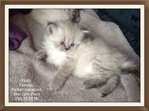 Chatons Persan/Reservation