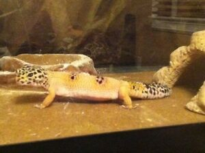 Leopard gecko with Large terrarium and more