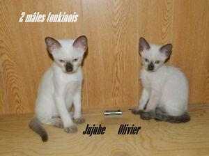 4 chatons tonkinois et siamois ; agés de 9 et 10 semaines