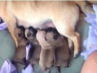 Chug puppies (chihuahua X pugs) ALL SOLD