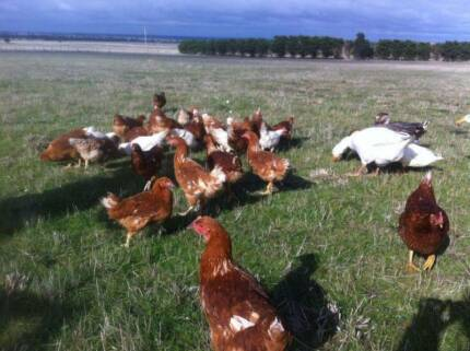FREE RANGE ISA BROWN CHICKEN FOR SALE Tullamarine Hume Area Preview