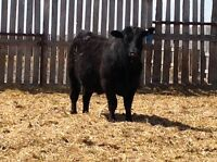 BLACK ANGUS YEALING BULLS FOR SALE