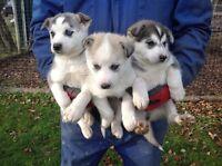 Beaux Chiots Husky Sibérien à VENDRE!