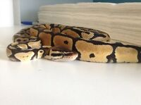 Python , tank, heat pad, log and thermostat for sale