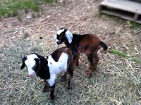 Mini Nubian Billy goats