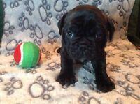 French bulldog/pug puppies