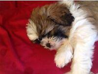 Shih tzu kc puppy