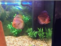 Pair of discus fish £130