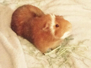 WANTED MALE GUINEA PIG