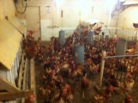 1 year old laying hens