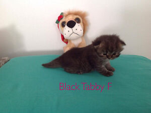 Persian Kittens Now available- Himalayan lovers stop here