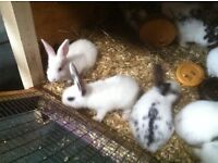 Gorgeous English X baby rabbits