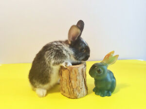 cute baby dwarf bunny girl, $60, includes food and hay.