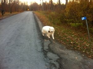 Seen large white dog