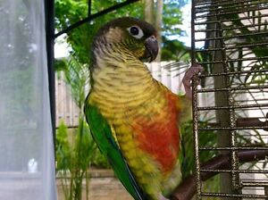 Green Cheek Conure — Male