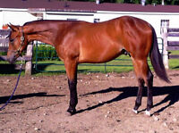 Yearling Colt Western Pleasure Prospect by Playin Lazy