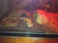 Male and female leopard gecko 30 gal setup with extra decoration