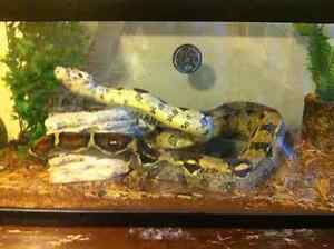 Red Tail Boa With Tank