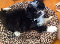 ONE OF A KIND DESIGNER SHIH TZU x POM PUPPIES - SO GOOD!