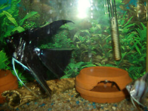 ANGEL FISH  home grown