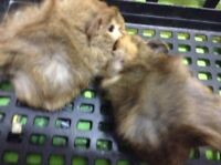 Two female baby Guinea pigs